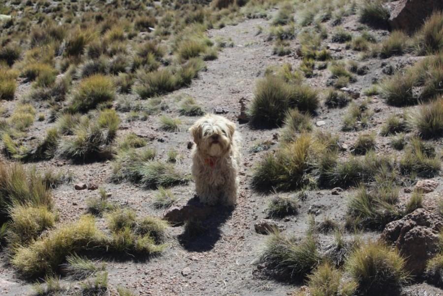 Sajama Nationalpark Natur Sajama Berg Gipfel Höchster Berg Boliviens Südamerika Wanderung Lama