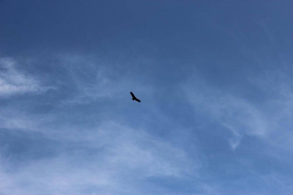 Torotoro Nationalpark Bolivien Südamerika Natur Tiere Kondor Vogel Frei Wild Riesig