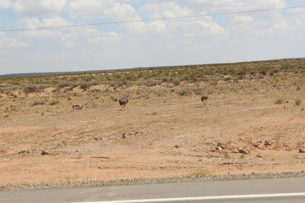 Nandus Tiere Wildtiere Straußfamilie Jepptour Tupiza Natur Bolivien Südamerika Straßenrand