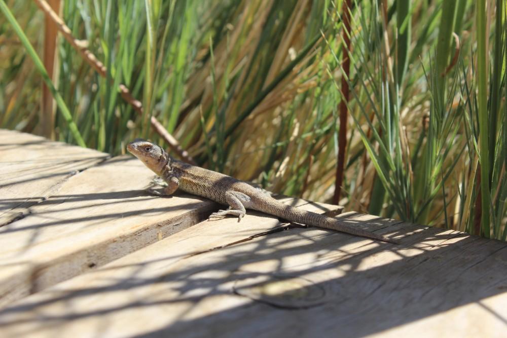 Eidechse Laguna Cejar Sonnenschein Sonnen Aufheizen Tier Schreckhaft