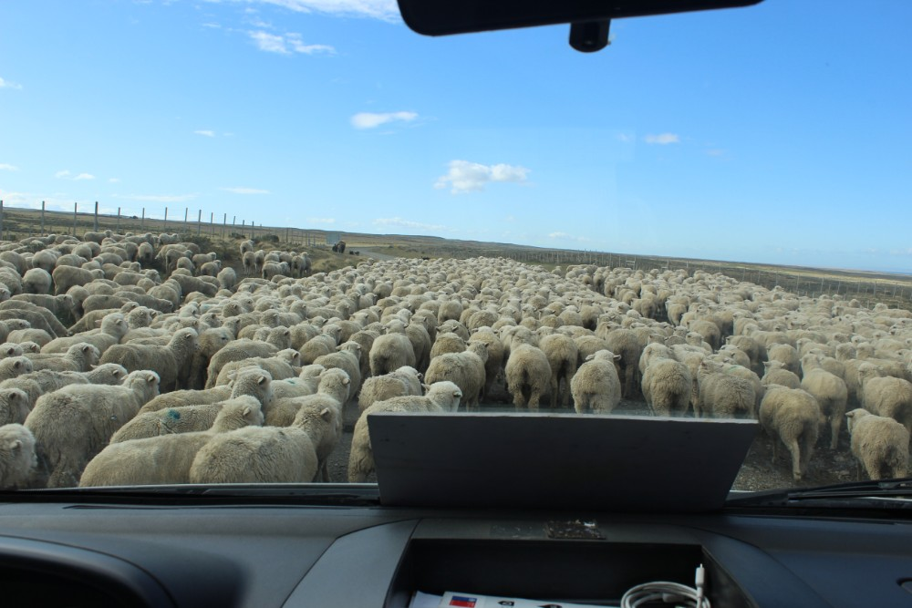 Straße Schafe Fahrt Feuerland Chile Argentinien Südamerika