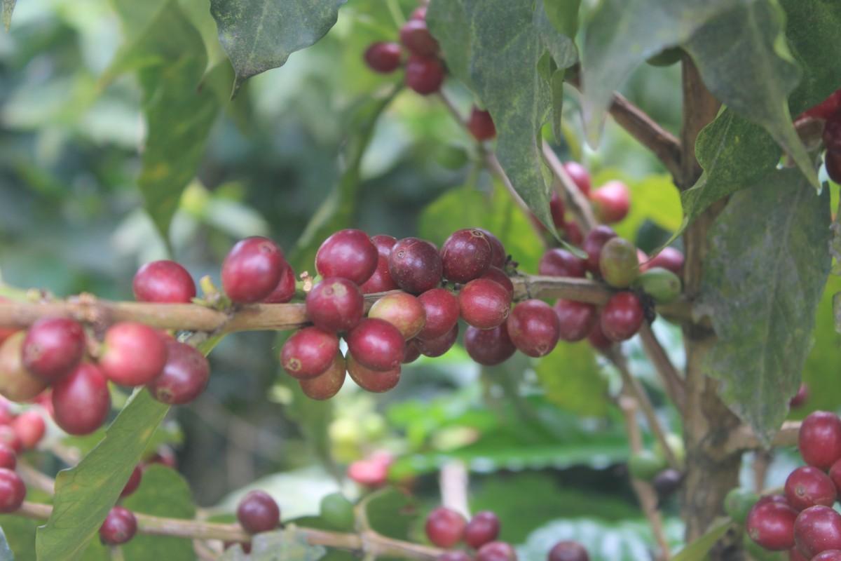 Kaffeeepflanzen Beeren