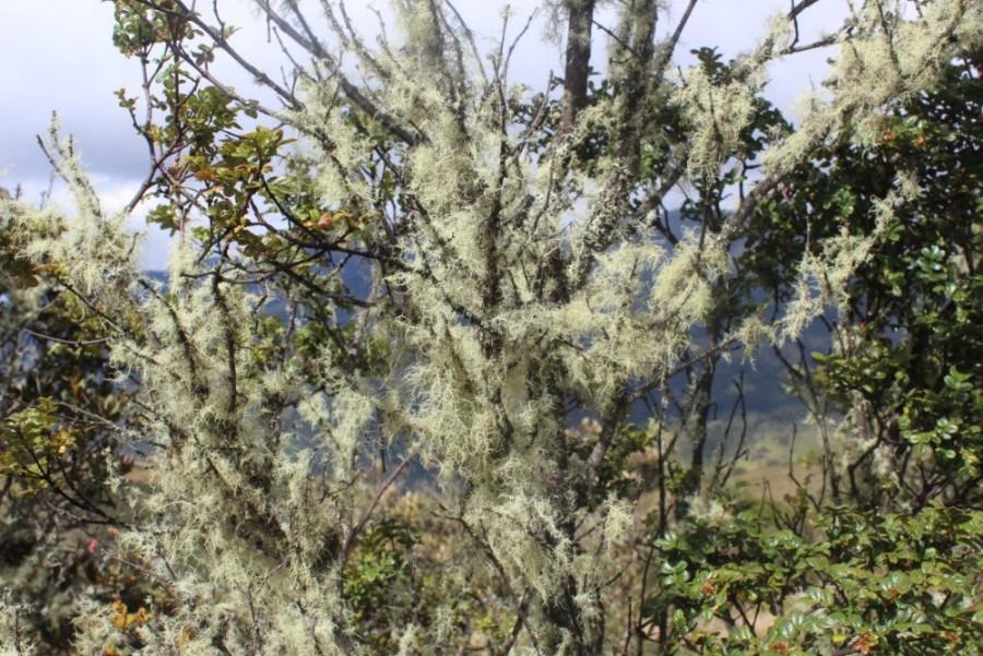 Natur Äste Bäume Weiß Männerbart