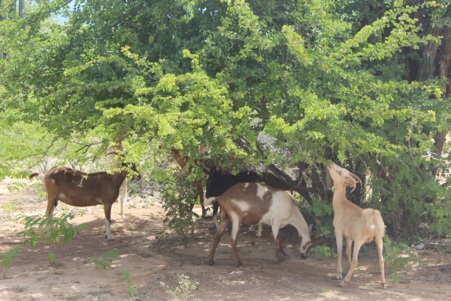 Ziegen Futter Tatacoa Wüste Busch