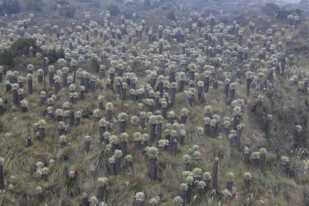 Kaktus Natur Nebel Kakteen Tuquerres