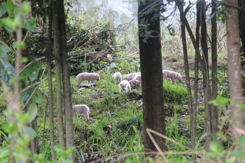 Ferkel Schweine Tiere Natur Tuquerres
