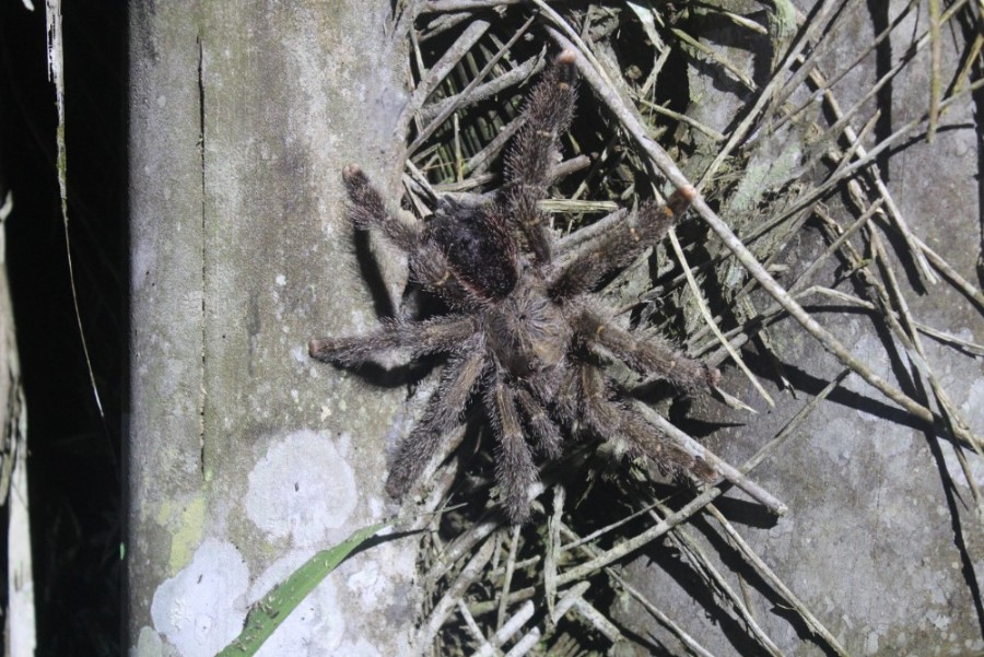 Amazonas Cuyabeno Natur Rainforest Wildlife Taranteln Spinnen Nachtwanderung
