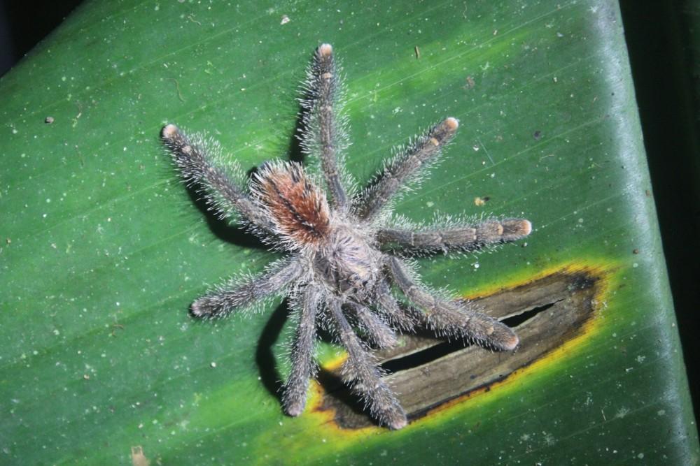 Amazonas Cuyabeno Natur Rainforest Wildlife Spinnen Taranteln Baby
