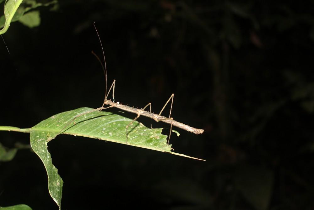 Amazonas Cuyabeno Natur Rainforest Wildlife Insekt Versteckspiel