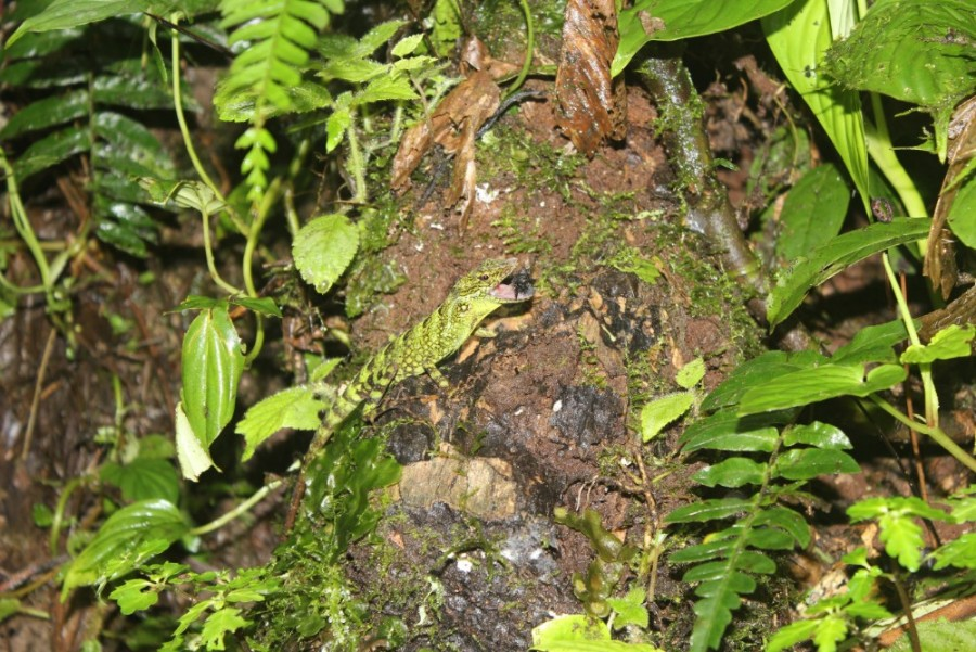Eidechse Futter Tier Natur Mindo Ecuador