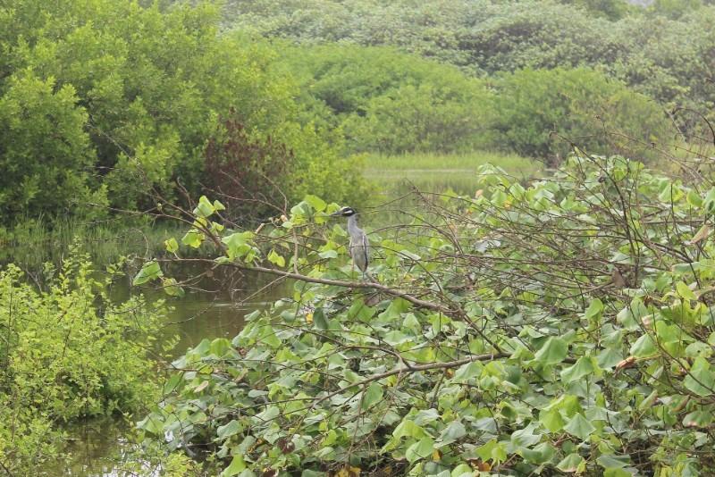 Ayampe Lagune Vogel Vogelbeobachtung Tiere Ecuador