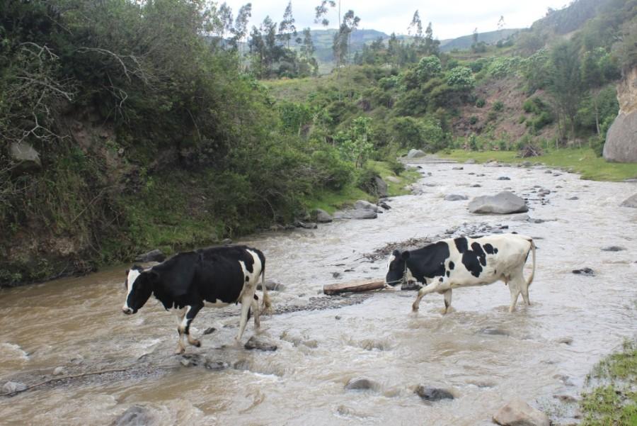 Quilotoa Loop Wandern Berge Natur Canyon Ecuador Südamerika Fluss Kühe
