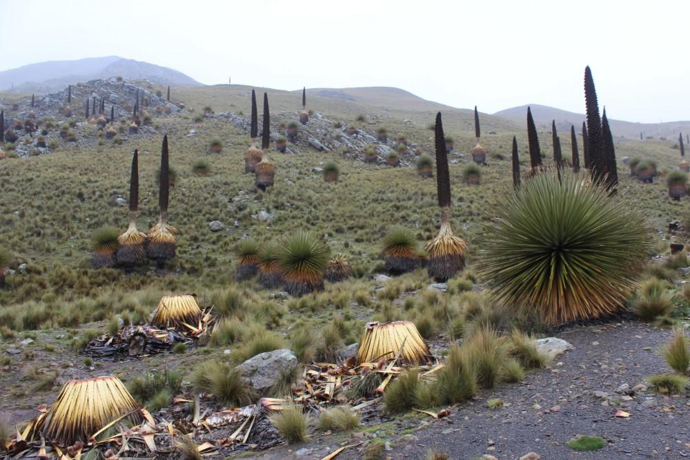 Pastoruri Bäume Paramo Natur Kalt Peru Südamerika Huaraz