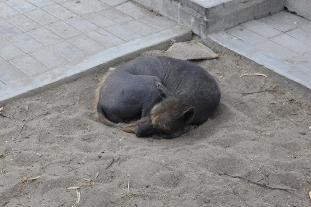 Chiclayo Peru Hund Nackthund Peruanisch
