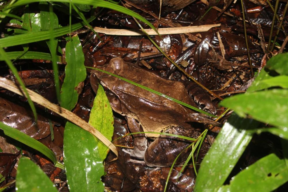 Amazonas Regenwald Peru Südamerika Natur Tiere Wildleben Ochsenfrosch Wanderung Nacht