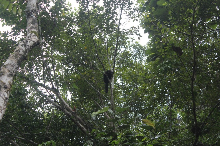 Amazonas Regenwald Peru Südamerika Natur Tiere Wildleben Affenbaby