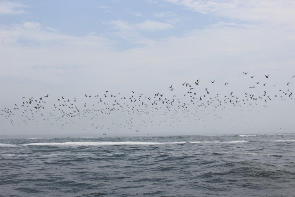 Lima Peru Südamerika Palominoinseln Wilde Tiere Natur Vögel