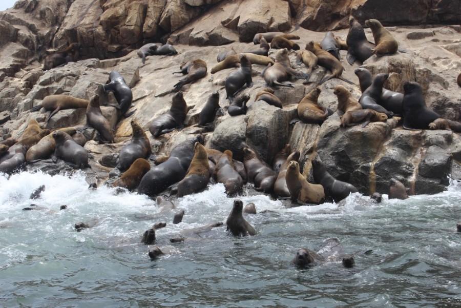 Lima Peru Südamerika Palominoinseln Wilde Tiere Natur Seelöwen