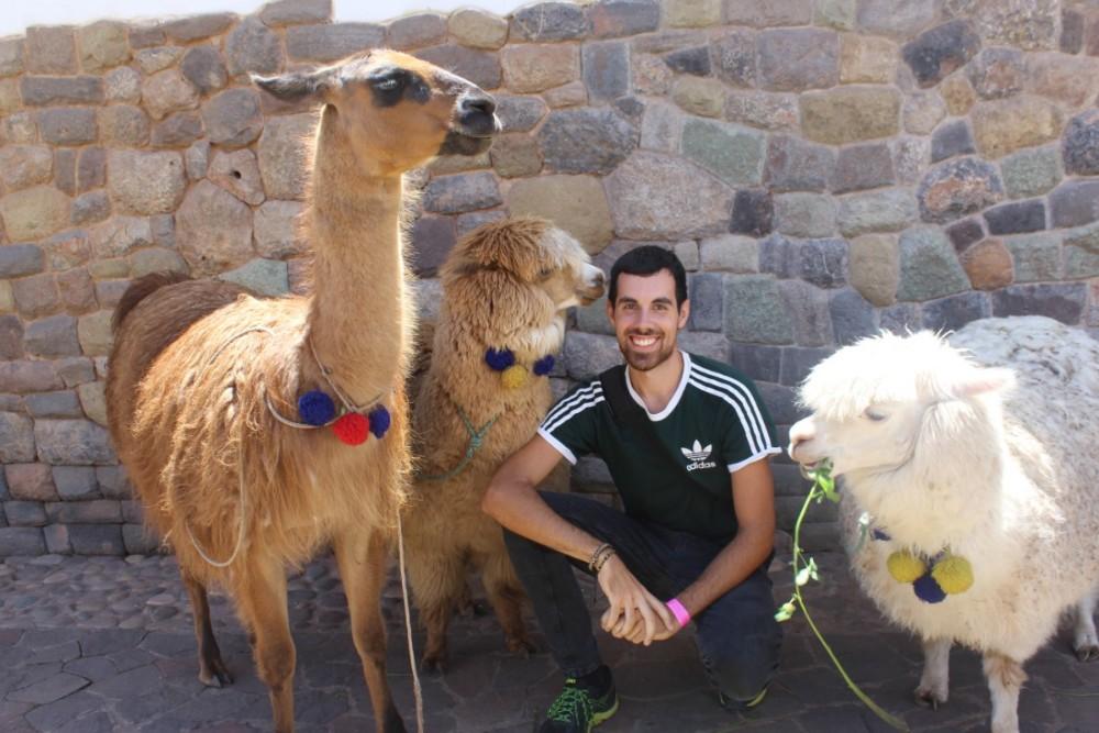Cusco Peru Südamerika Stadt der Könige Alpaca  Freundliche Tiere