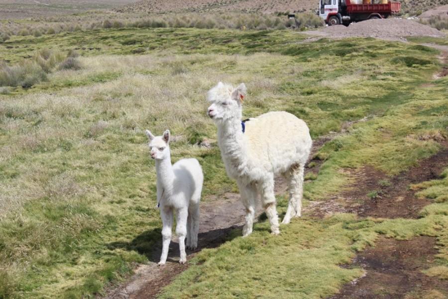 Sajama Nationalpark Natur Sajama Berg Gipfel Höchster Berg Boliviens Südamerika Wanderung Alpaca Baby