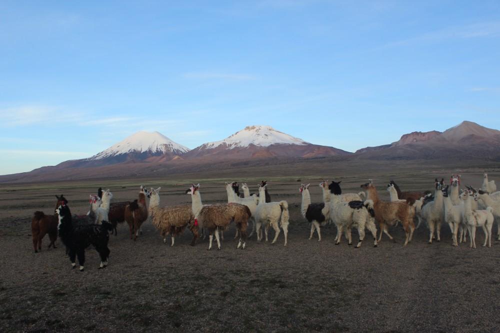 Sajama Nationalpark Natur Sajama Berg Gipfel Höchster Berg Boliviens Südamerika Wanderung Alpacas