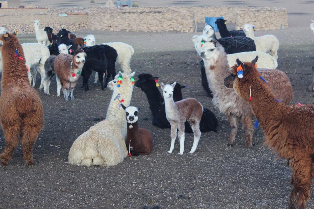Sajama Nationalpark Natur Sajama Berg Gipfel Höchster Berg Boliviens Südamerika Wanderung Alpacas Familie