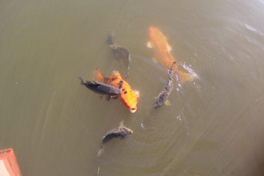 fische-schwimmen-im-wasser