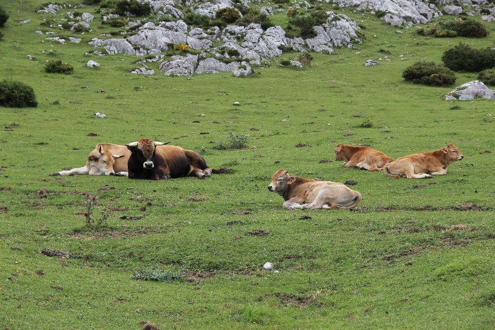 Kühe auf Wiese